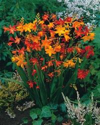 699 best perennials images on pinterest flower gardening garden montbretia flowers are kind of cute too mightylinksfo