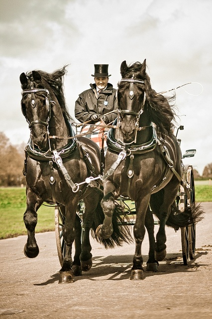 London Harness Horse Parade 2010 - I don't see feathers, but I think they must be Friesians :)