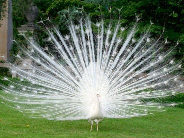 Weißer Pfau: Ein bildschöner Vogel