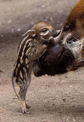 Red River Hog (Potamochoerus porcus), baby and mother interacting, a highly social bush pig native to West Africa