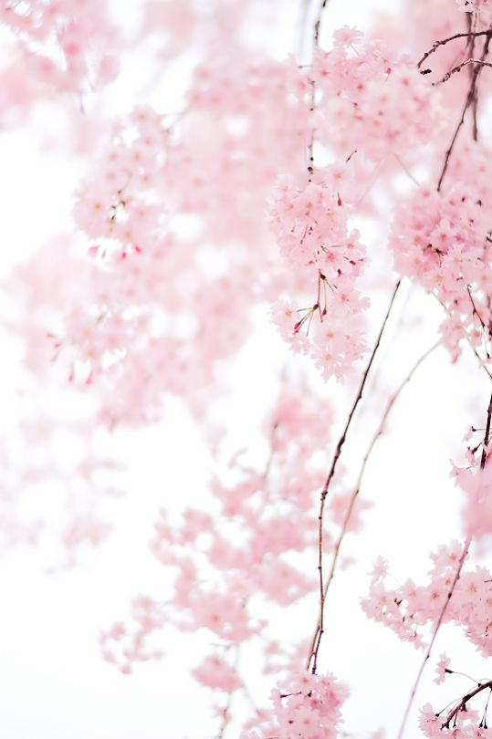 sakura [by myu-myu]