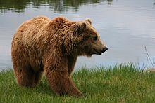 Brunbjørn, Ursus arctos