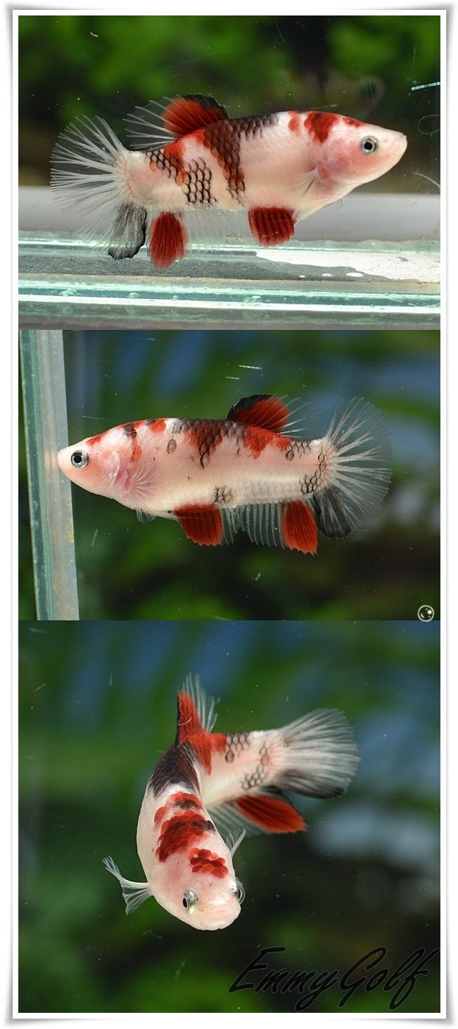 17 best images about koi bettas on pinterest mars red for Fancy koi fish
