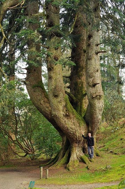 The Silver Fir at Ardkinglas dubbed the mightiest tree in Europe