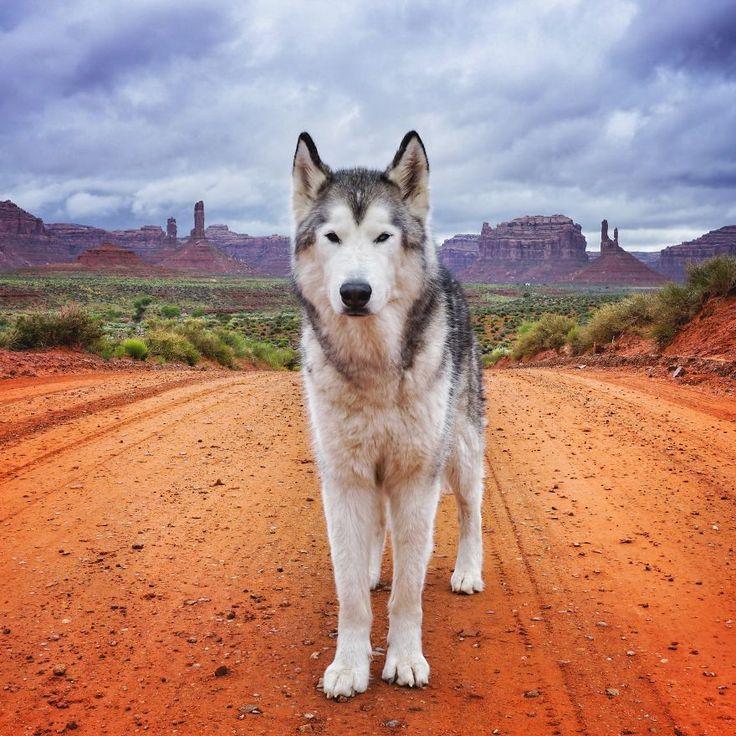 loki-chien-loup-6