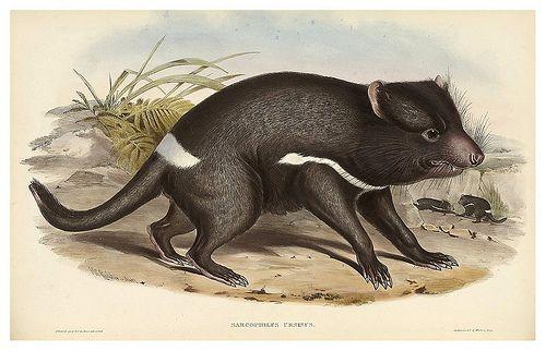 006-Diablo de Tasmania-The mammals of Australia 1863-John Gould- National Library of Australia Digital Collections