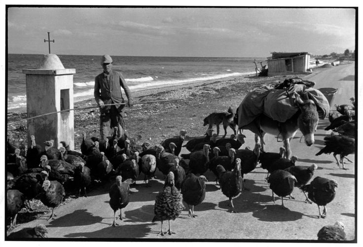 """GREECE. Attica. 1953. """"A flock of turkeys being driven along the sea side, on their way from Olympia to Athens for the Christmas market, had already been on their way for a fortnight, had another fortnight to go. The object is to get them to Athens without making them too thin"""". Henri Cartier-Bresson"""