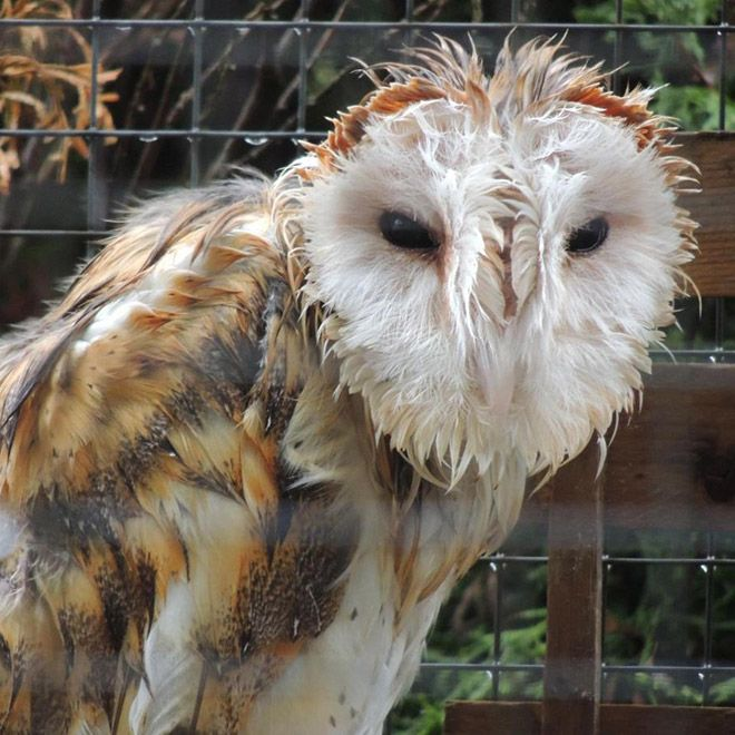 Image result for wet barn owl