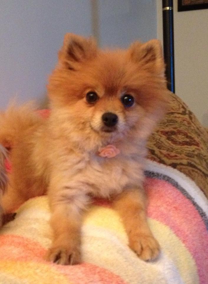 The 25 Best Corgi Pomeranian Mix Ideas On Pinterest Corgi Pomeranian Five Miles And Small