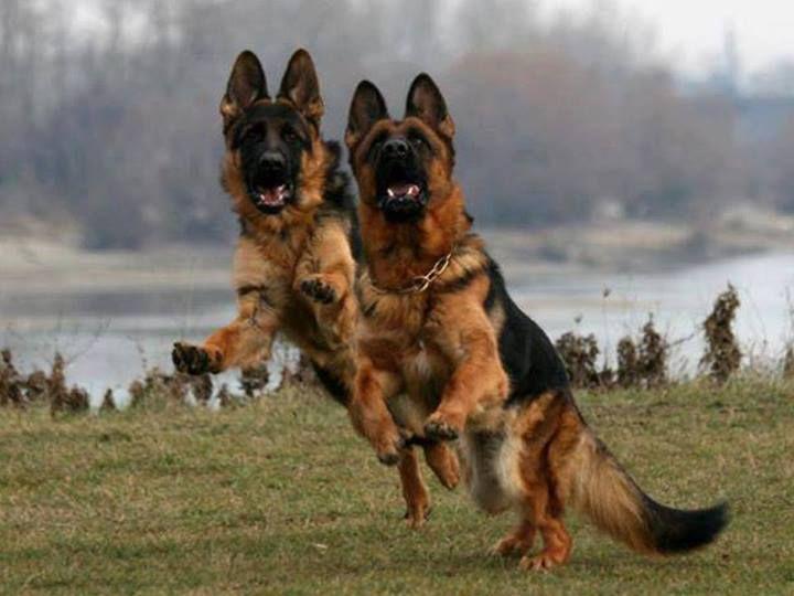 German Shepherd S Shepherds