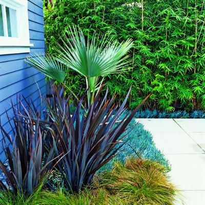 Mexican blue palm, bronze New Zealand flax and two groundcovers, Carex testacea and blue Senecio mandraliescae