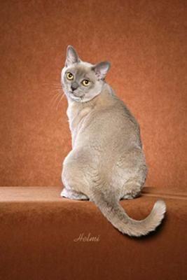 Burmese | Cat Fancy