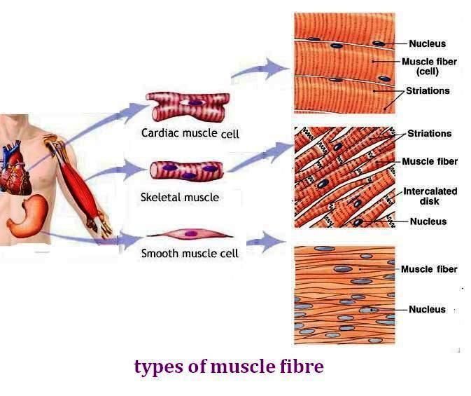 3 human muscle types – cultua, Muscles