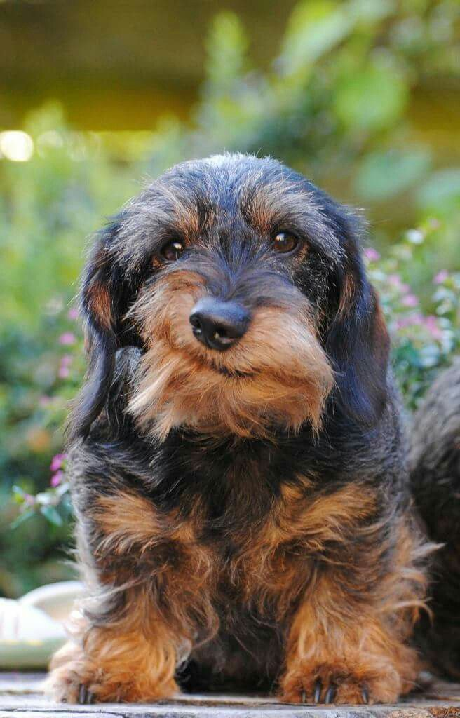 Dachshund Wirehaired With The Most Wonderful Crooked Smil