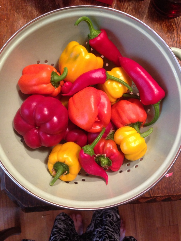 Our first capsicum harvest. Which we have smoked dehydrated and will turn into powder.