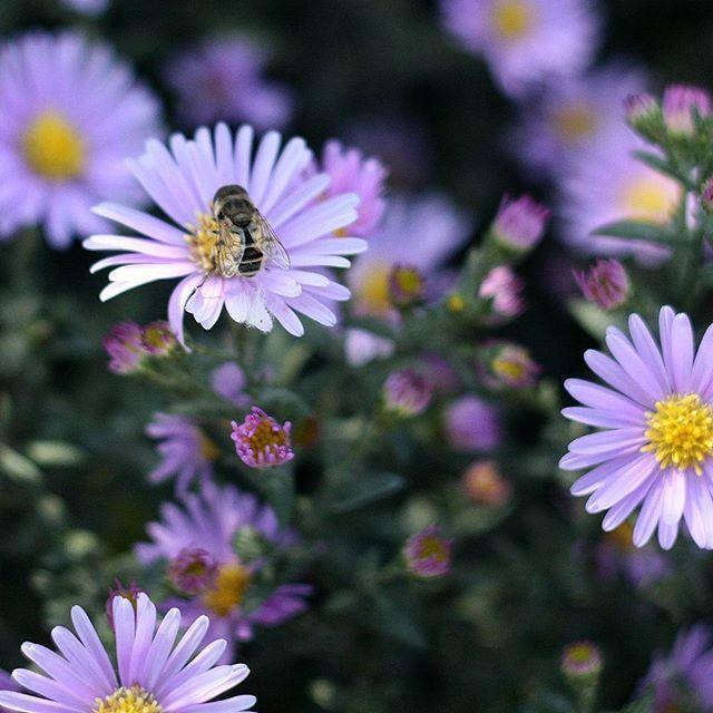 #lilacflowers #bee #insect #nature #summer #traveling #Biene #lila #paars #bloemen #paarsebloemen