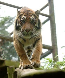 Thrigby Hall Tiger