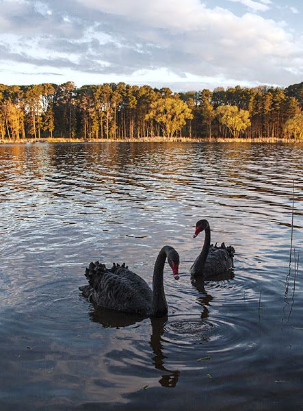 Beautiful Swans at sunset in Canberra, Australia. Photographed by Ben Dover.