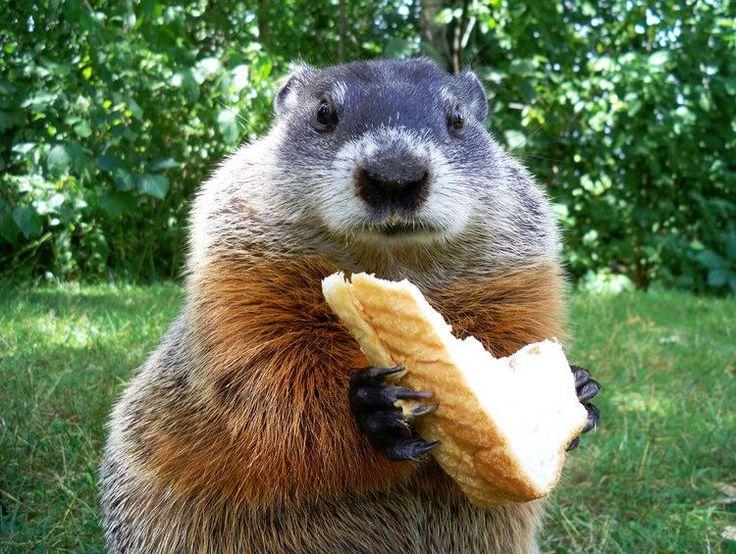 La marmotte, cette gourmande : Les animaux les plus mignons de la planète - Linternaute.com Photo numérique