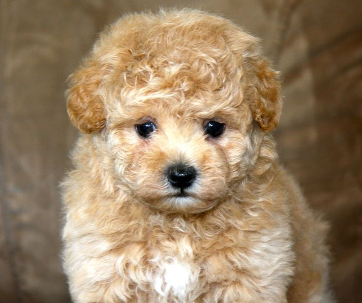 17 Best images about Malti Poo on Pinterest | Chihuahuas ...