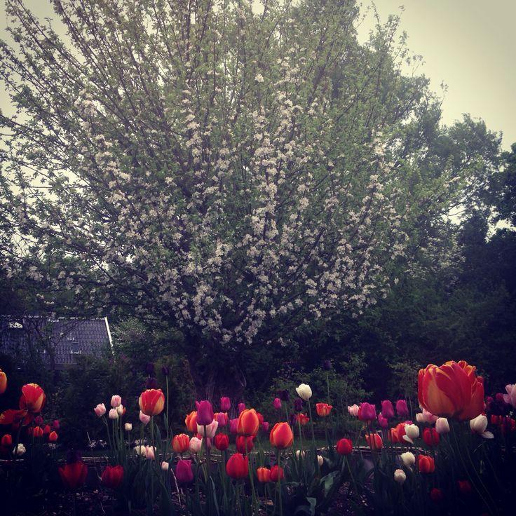 Det gamle æbletræ