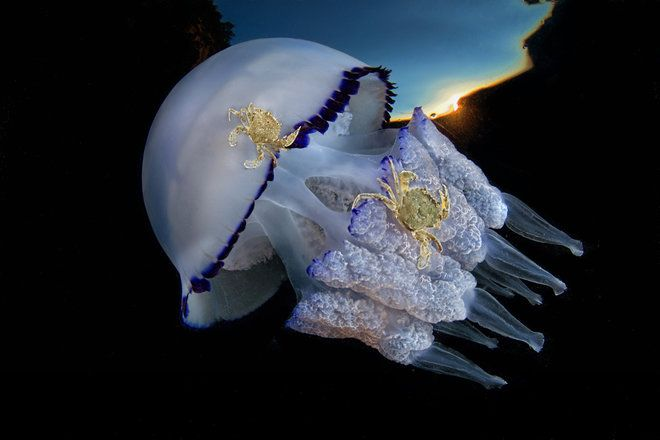 """Pasquale Vassallo captured this image of crabs tending to a barrel, or frilly-mouthed, jellyfish in the Gulf of Naples, Italy. """"Over the past few months, my photographic work has focused primarily on the large presence of species of jellyfish Rhizostoma pulmo, in the Gulf of Naples. In this picture a couple of crabs, Liocarcinus vernalis species, are its tenants. When the jellyfish rub the sandy seabed, the crabs jump on it and get carried to different areas,"""" Vassallo said."""