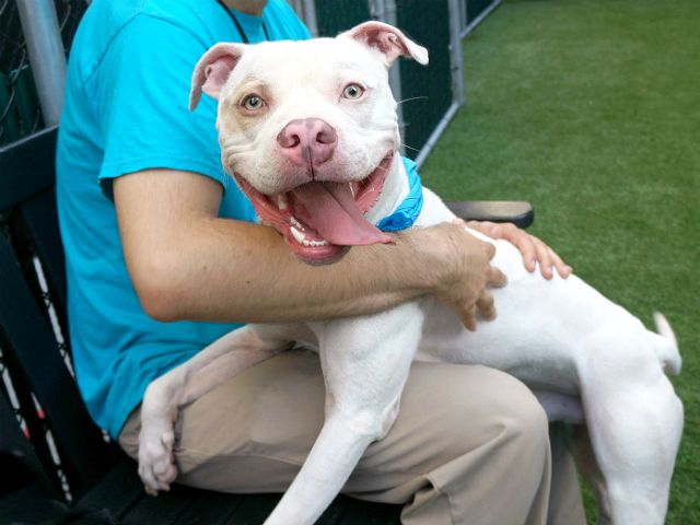 PATCHY - A1117031 - - Manhattan  TO BE DESTROYED 07/06/17 **NEEDS A NEW HOPE RESCUE TO PULL** A volunteer updates: After the Best Date Ever, during which I was smothered in lap snuggles, kisses and tail wags galore, I'm officially naming myself President of the Patchy fan club–this guy rocks!!! While he's still shy coming from his den, now that we're friends I get star treatment from the moment we step outside, and Patchy keeps looking up at me as we