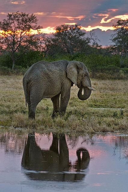 African elephant, Tubu Tree Camp, Jao Reserve, on the west of the Okavango Delta, Botswana