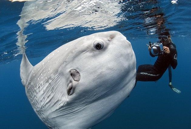 Dieser Mondfisch macht seinem Namen wirklich alle Ehre. Dem Naturfotografen Daniel Botelho ist ein seltener Meisterschuss gelungen - sein im kalifornischen San Diego aufgenommenes Bild ging um die Welt, nachdem es auf Facebook gepostet wurde.
