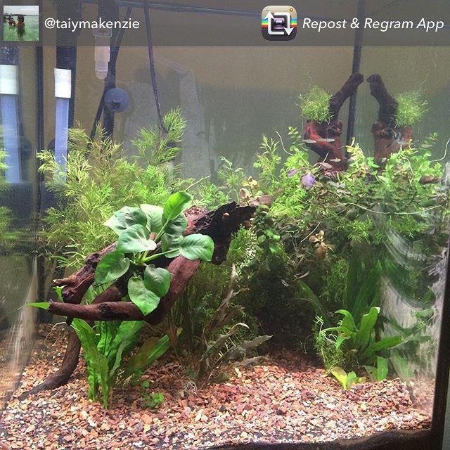 Check out @taiymakenzie freshwater tank, thanks for sharing your tank! #freshwatertank #fwfishgeekgrandrapids #showusyourtanks