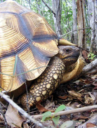 A male ploughshare tortoise Beaboaly, Madagascar