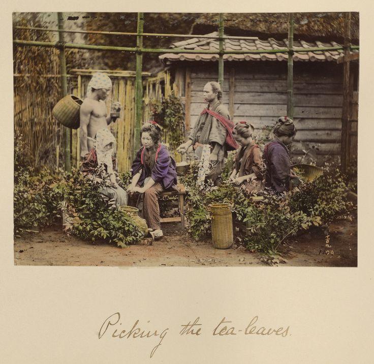 Picking the Tea Leaves; Shinichi Suzuki (Japanese, 1835 - 1919); Japan; about 1873 - 1883; Hand-colored albumen silver print; 12.7 x 17.2 cm (5 x 6 3/4 in.); 84.XA.765.8.102; J. Paul Getty Museum, Los Angeles, California