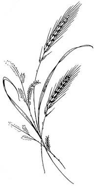 wheat plant drawing