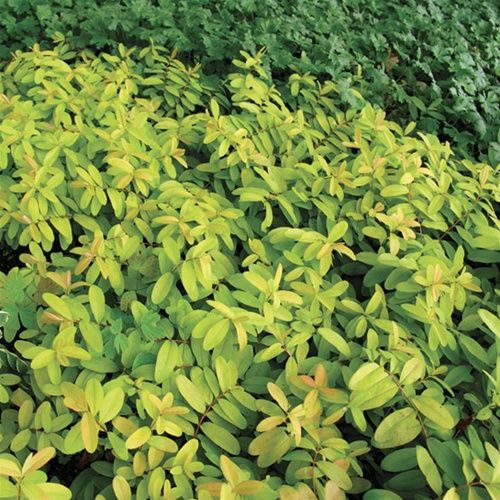 Hypericum calycinum Brigadoon - 	 A bold new look for a garden stalwart. Brilliant gold/chartreuse leaves gleam in the sun, or brighten shade in very hot regions. Foliage turns beautiful burnished gold in cool autumn weather. Yellow pincushion flowers.