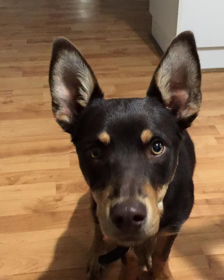 Charlie is a 6 month old kelpie boy.