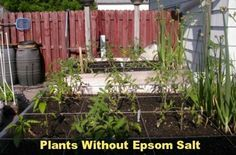 Epsom salt makes a difference  I know when I added to a Magnolia tree it made it grow like crazy JUST never thought of putting it in the veggie garden.