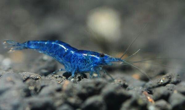 Картинки по запросу Neocaridina heteropodavar.Blue Dream
