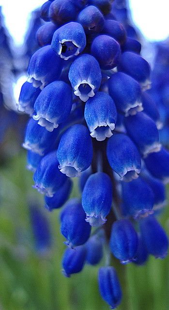 blue Grape Hyacinths (Muscari) are just about to come into bloom in the @Jellybooks garden