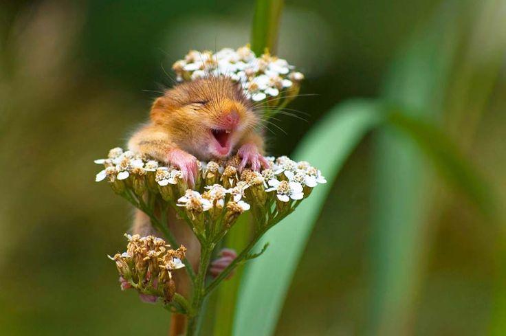 Niedlicher geht es kaum: Diese Haselmaus lacht sich schlapp.