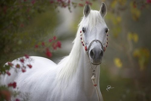 I see you, pretty horse...♥: Hors Girls, Beautiful Hors, Hors Pictures, Grey Hors, White Horses, The White Hors, Arabian Horses, Animal, Hors Breeds