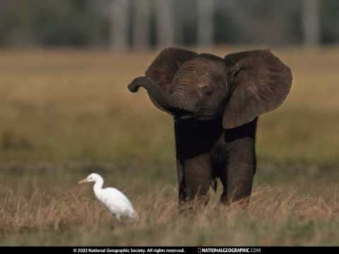 1962 - 'Baby Elephant Walk' - song from the movie Hatari - song by Henry Mancini
