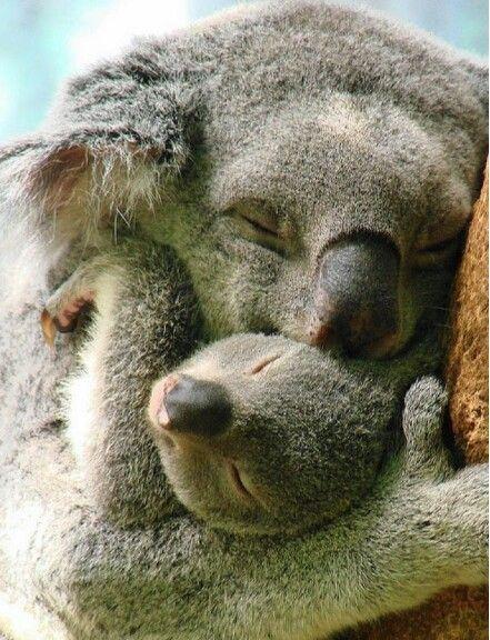 Photos de famille - Page 2 6095799d1c33bcb01933cb34d1a72d43--baby-koala-koala-bears