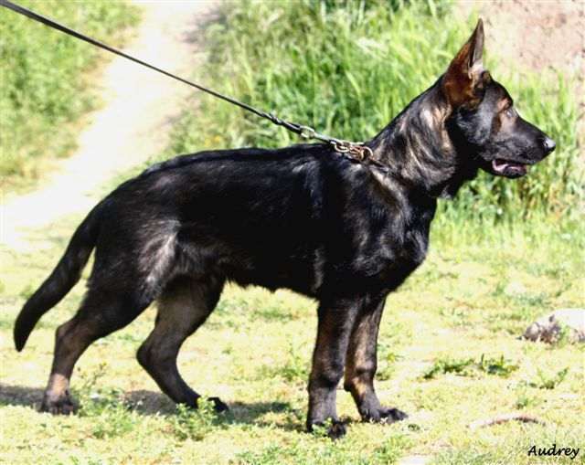 "DDR/Czech line black sable GSD.... ""Awesome line of dogs, you don't want to run into this guy in a dark alley!"""