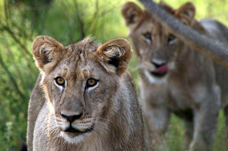 Leeuwen in Zuid Afrika   Dieren   Zoom.nl