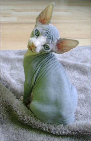 sphynx kitten, weird I know but I still want one!