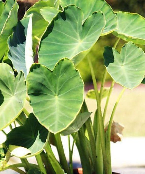 20 Elephant Ear Green Taro Bulbs Water Lily Roots Pond Plant