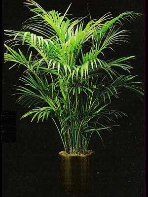 Google Image Result for http://www.thepottedplant.net/gallery/indoor-plants/img/low-light/kentia-palm.jpg