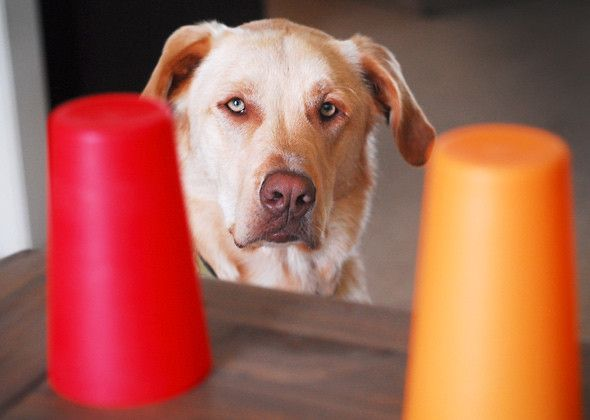 GAME Teach Your Dog to Scent - Start off with two colored containers your dog can't see through. First, train your dog to eat a treat out of a tipped-over cup that's lying on its side. Next flip the cup upside down, but hold up one edge so the dog can see the treat  root for it with his tongue. Follow the rest of the steps (see link). As your dog becomes more skilled, challenge him to use his nose to find the treat by moving the cups in line with one another.