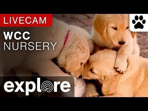 Warrior Canine Connection Puppy Cam - Nursery camera | Explore.org