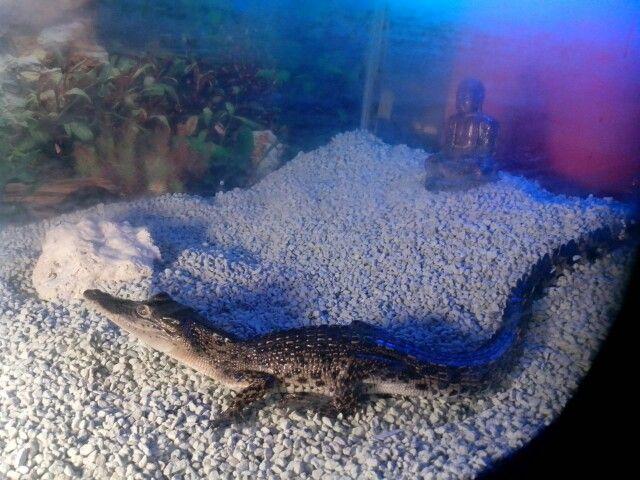 Crocokot